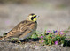 Horned Lark taken Sept 26, 2015 at Broughton Beach, Portland, OR